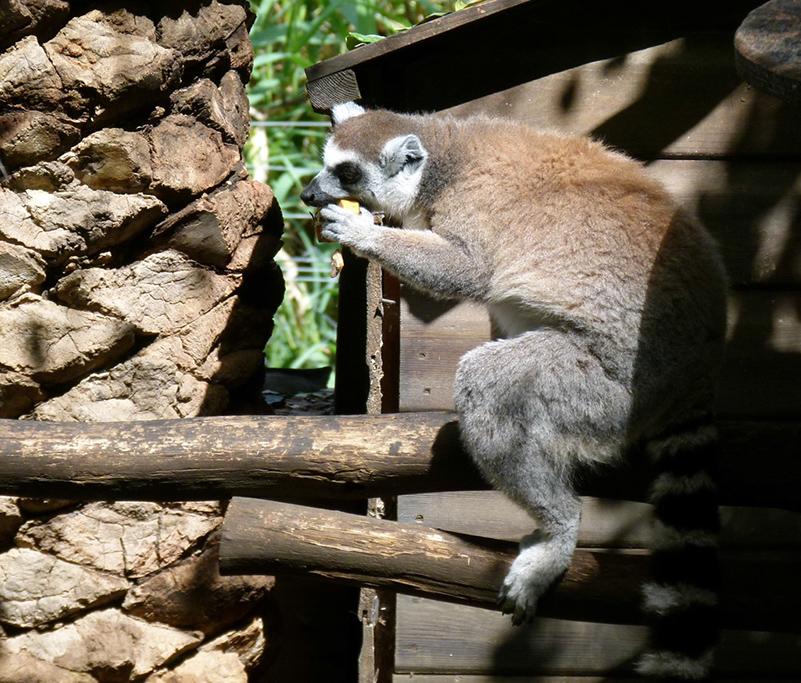 Секс обезьян лемуров острова цейлон онлайн